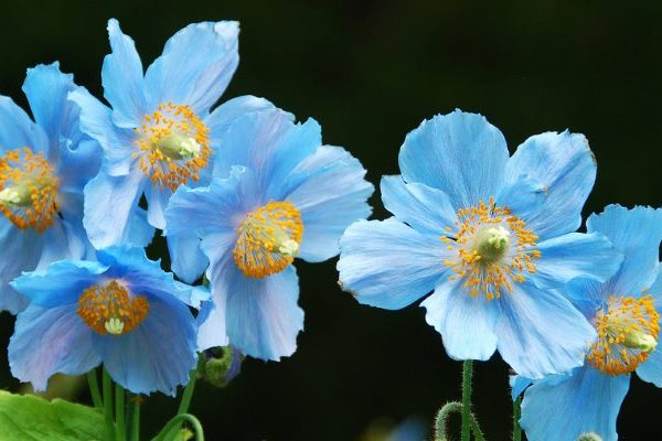 All about blue poppy