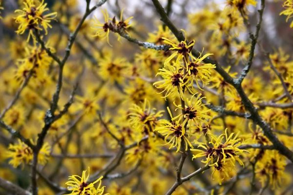 Witch-hazel nutritional value