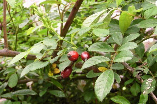 wild rose skin benefits