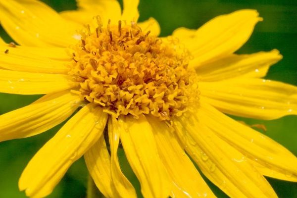 Arnica health benefits