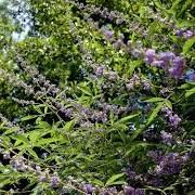 Λυγαριά - chaste tree