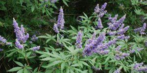 Chaste tree health benefits