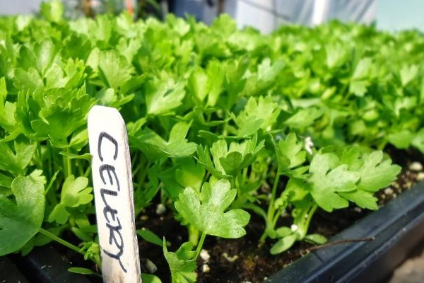 Celery nutritional value