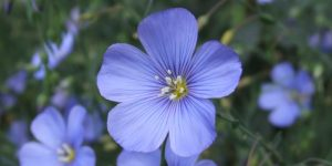 Flax nutritional value
