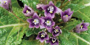 Mandrake health benefits