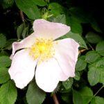 Άγριο τριαντάφυλλο – Rosa Canina