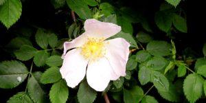 wild rose health benefits