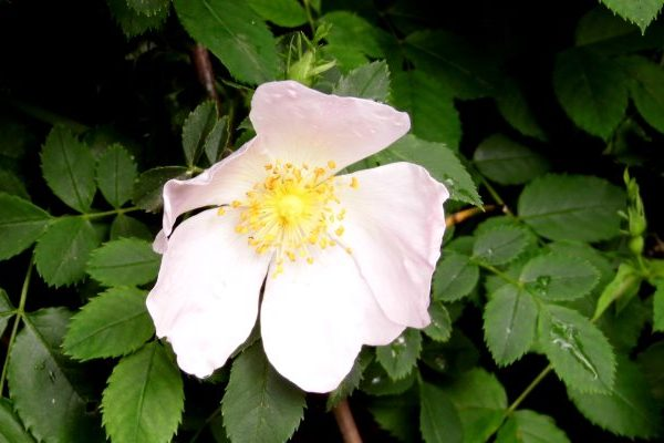 wild rose health benefits