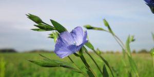 Flax skin benefits