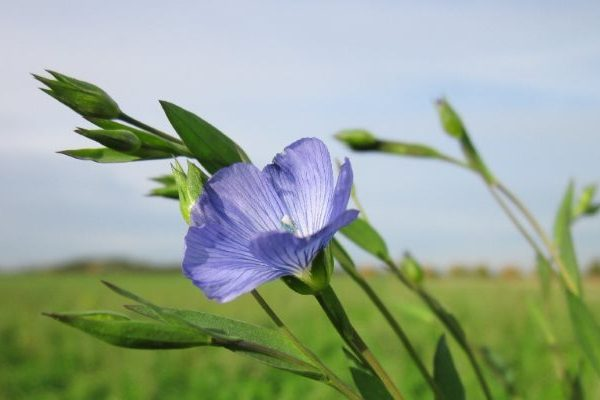 Flax skin benefits
