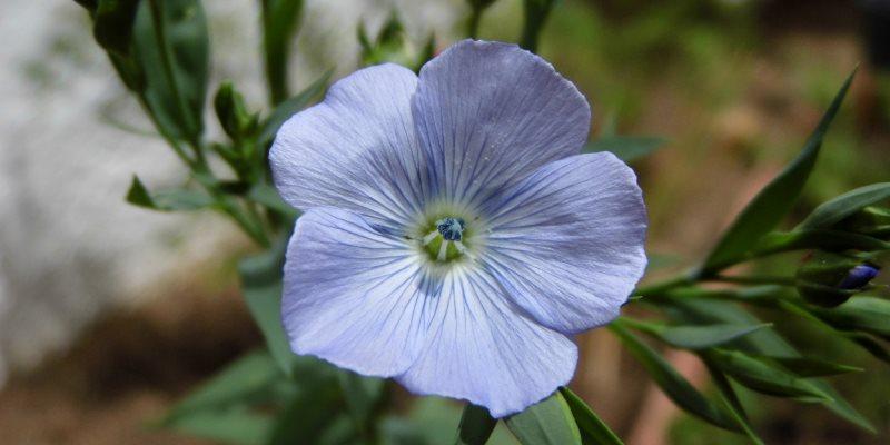 Flax health benefits