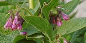 Comfrey nutritional value