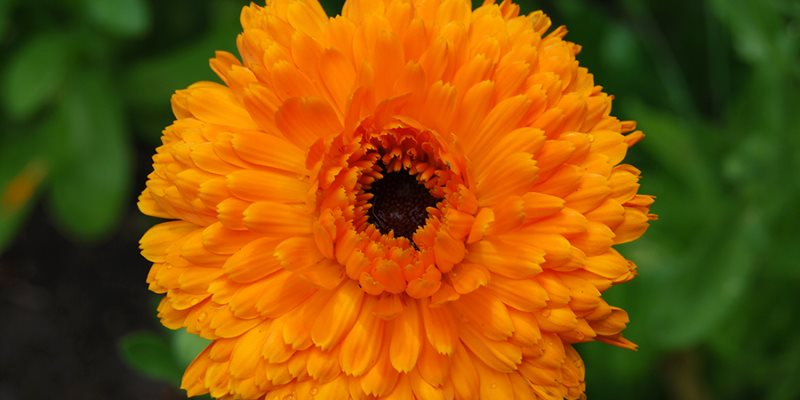 Calendula nutritional value