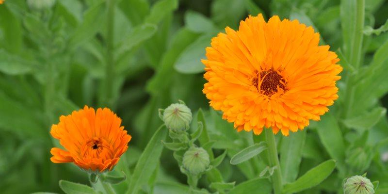 marigold - calendula skin benefits