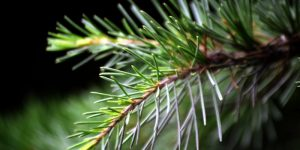 Pine how to collect