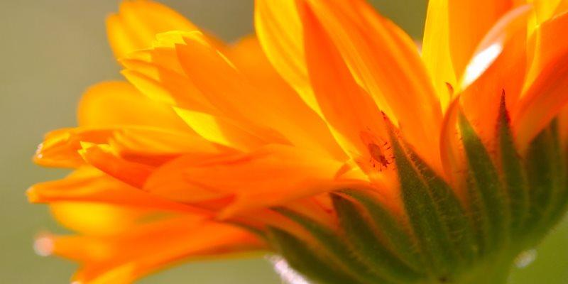 Calendula health benefits