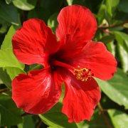 Ιβίσκος – Hibiscus Syriacus