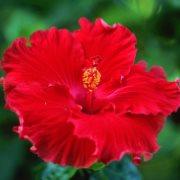 ιβίσκος hibiscus