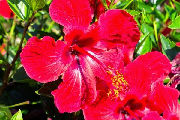 Hibiscus nutritional value