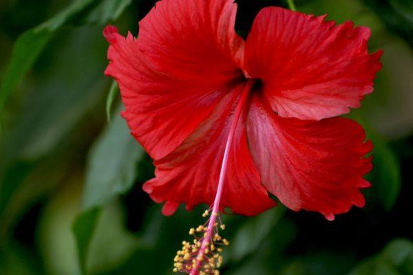 hibiscus skin and hair benefits