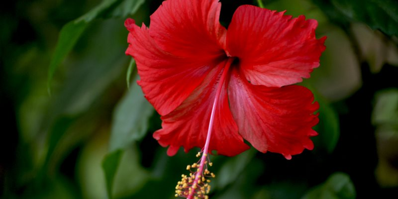 hibiscus skin and hair benefits