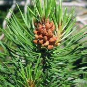 πεύκο pine