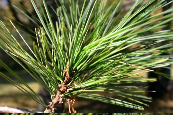 Pine skin benefits
