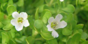 Brahmi Bacopa Monnieri health benefits