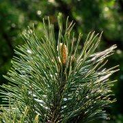 πευκο pine