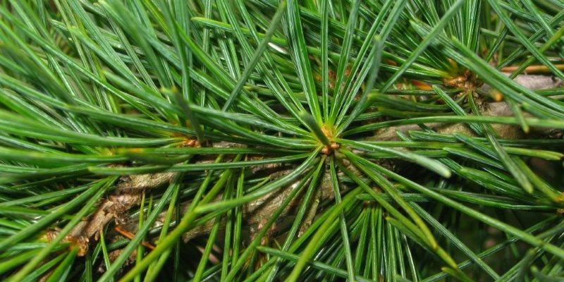 Pine health benefits