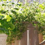 8 βότανα ιδανικά για καλλιέργεια σε εσωτερικούς χώρους