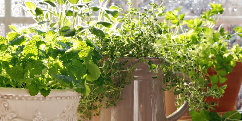 Indoor herbs cultivation