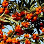 Sea buckthorn nutritional value