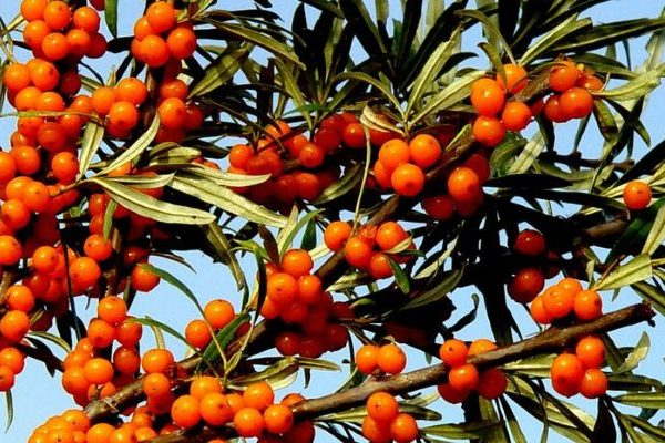 seabockthorn nutritional value