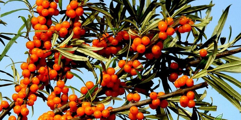 seabuckthorn nutritional value