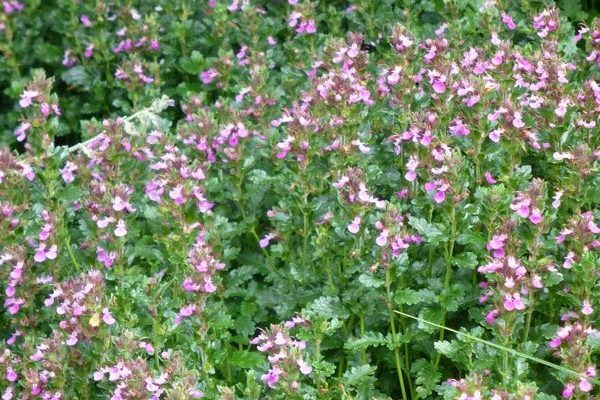 Teucrium nutritional value
