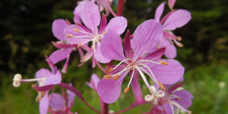 The uses of willow herb in cosmetics!