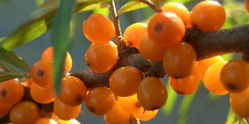 seabockthorn health benefits
