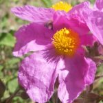 Cistus way to collect