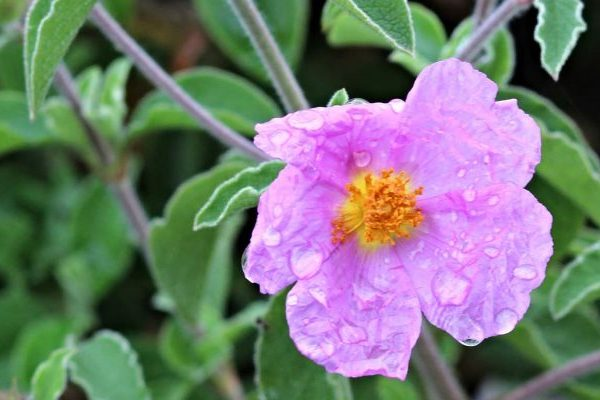 Cistus health benefits
