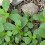 Purslane – ingredients and where to find