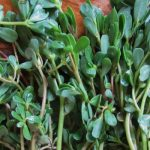 Purslane at cosmetics