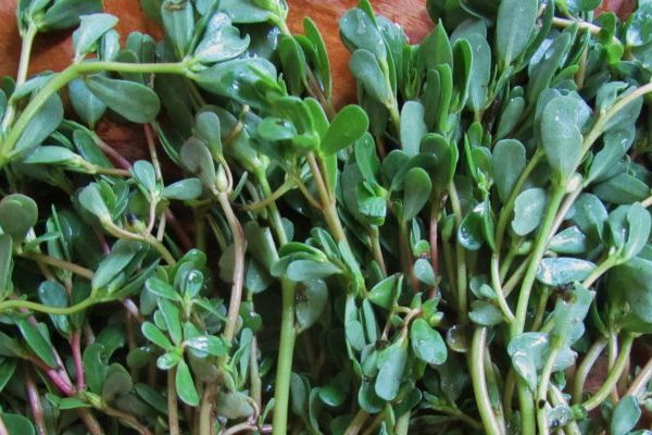 Purslane cosmetic uses