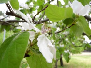 Quince tree flower