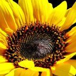 Ηλιοτρόπιο συστατικά και τρόπος συλλογής