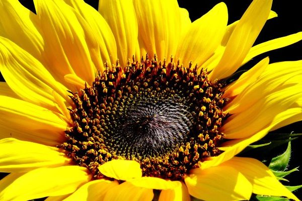 Sunflower nutritional value