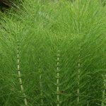 Horsetail – Equisetum arvense