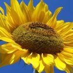 Ηλιοτρόπιο – Helianthus Annus