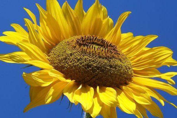 Sunflower health benefits