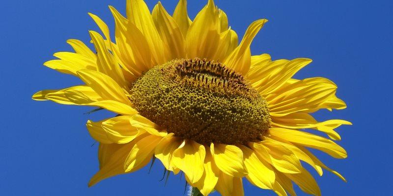 Sunflower – Helianthus Annus